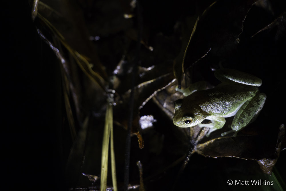 an-invasive-cuban-treefrog-osteopilus-septentrionalis_24405171833_o.jpg