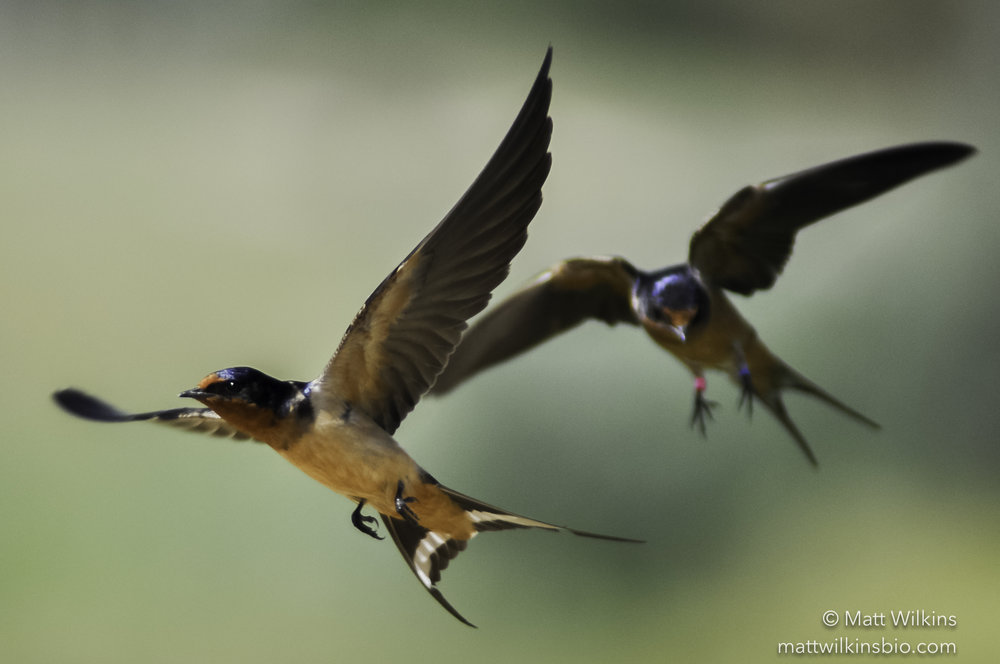 Barn swallows in flight. Notice the color band on the one in the rear.
