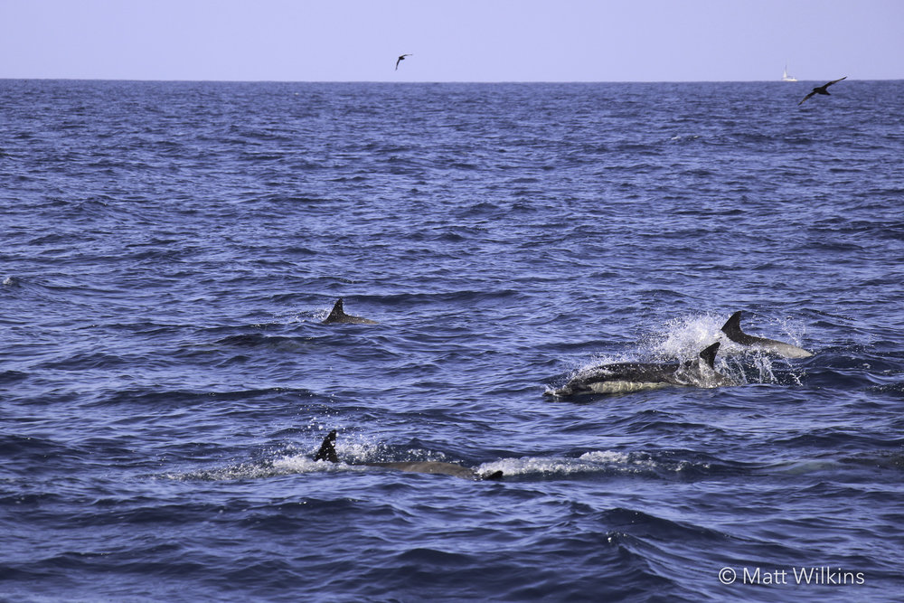 common-dolphins-near-orange-county-ca_24941740761_o.jpg