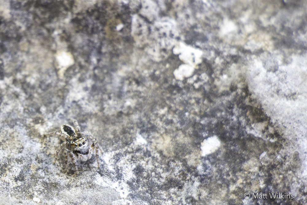 jumping-spider-at-the-ruins-of-olympos-amphitheater-near-antalya-turkey_24940715581_o.jpg