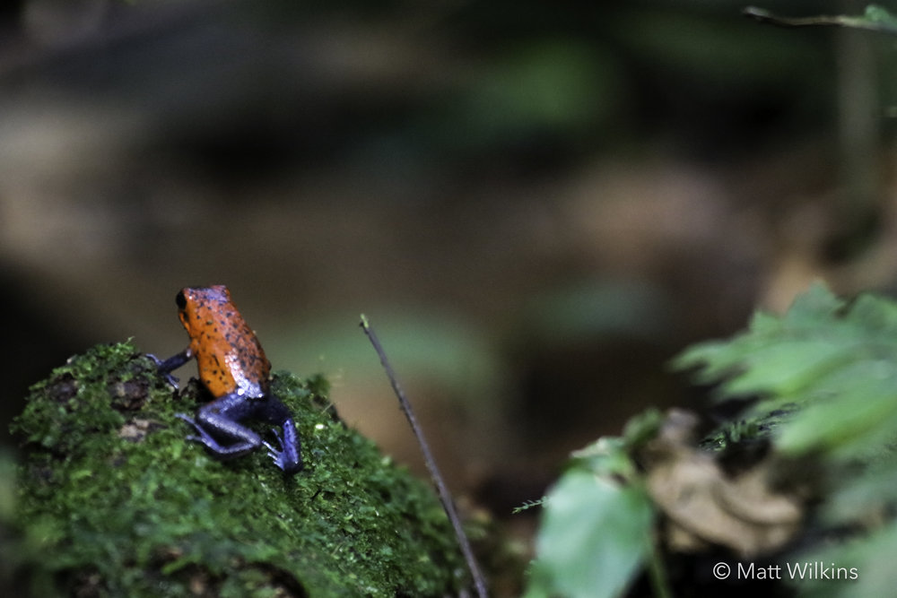 strawberry-poison-dart-frog-oophaga-pumilio_24917284622_o.jpg