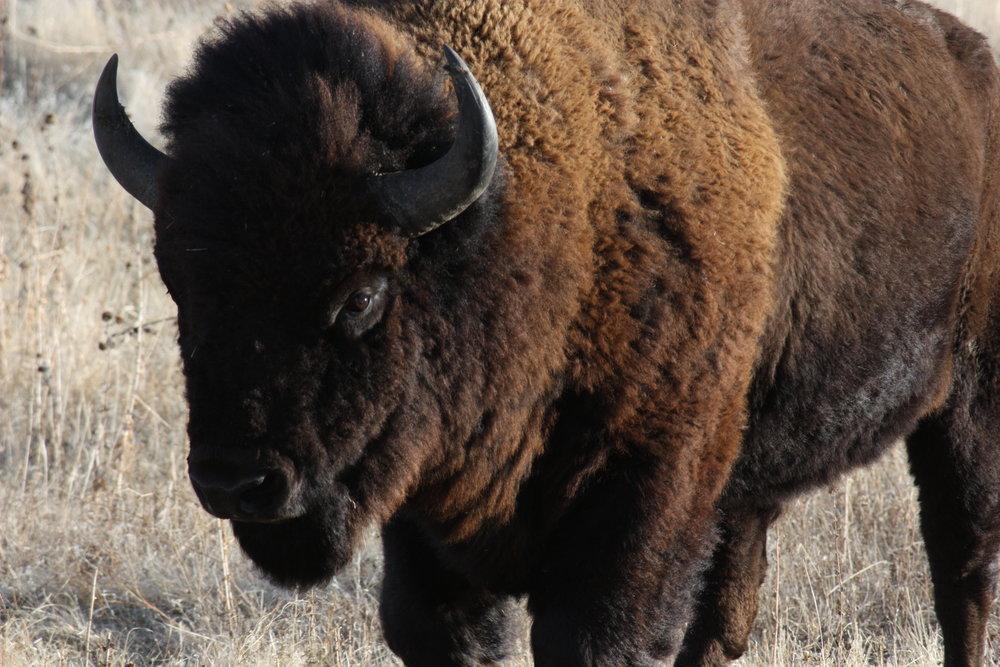 american-bison-bison-bison_25992460281_o.jpg