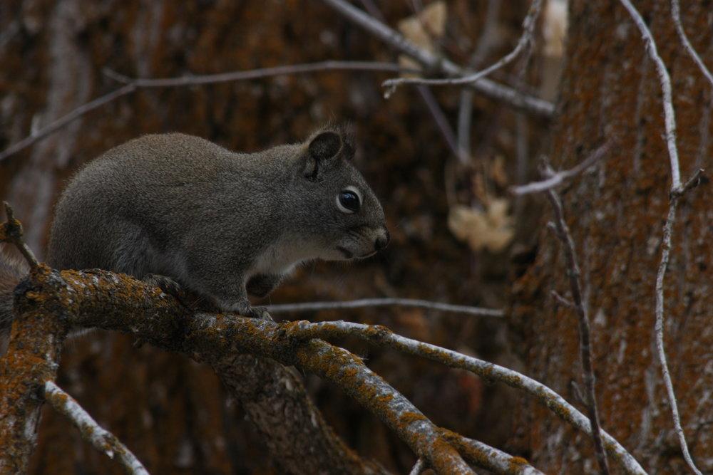 american-red-squirrel-tamiasciurus-hudsonicus_25453918614_o.jpg