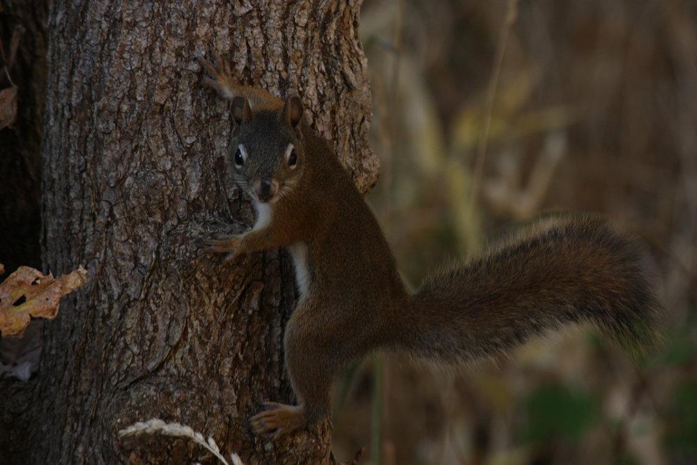 american-red-squirrel-tamiasciurus-hudsonicus_26032768896_o.jpg