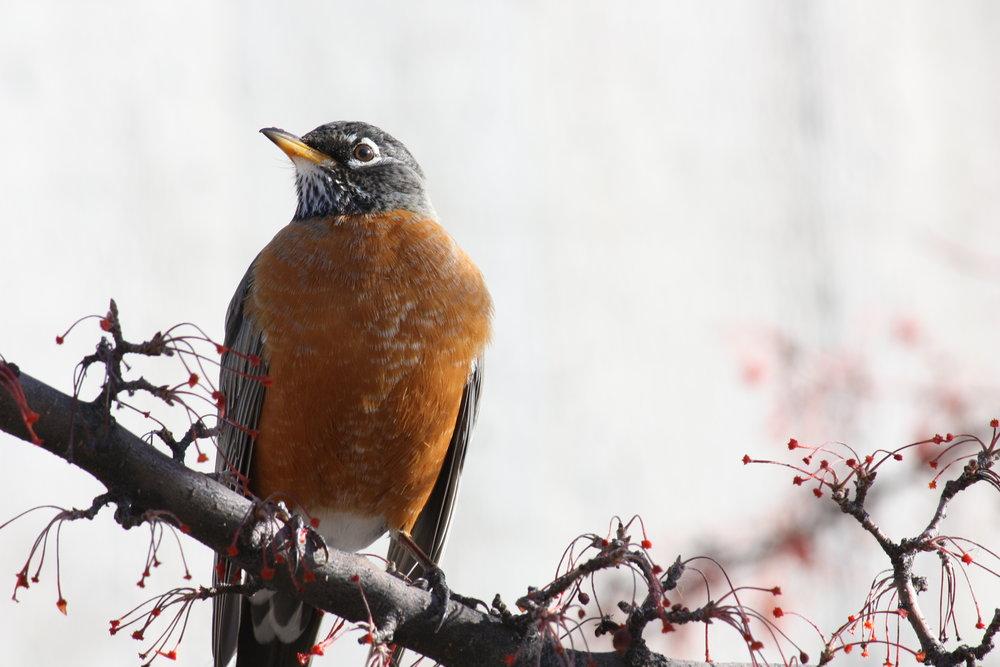 american-robin-turdus-migratorius_25453999814_o.jpg