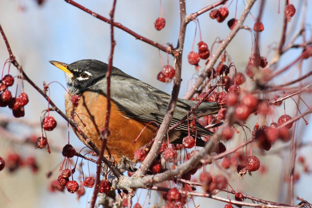 american-robin-turdus-migratorius_26032857806_o.jpg