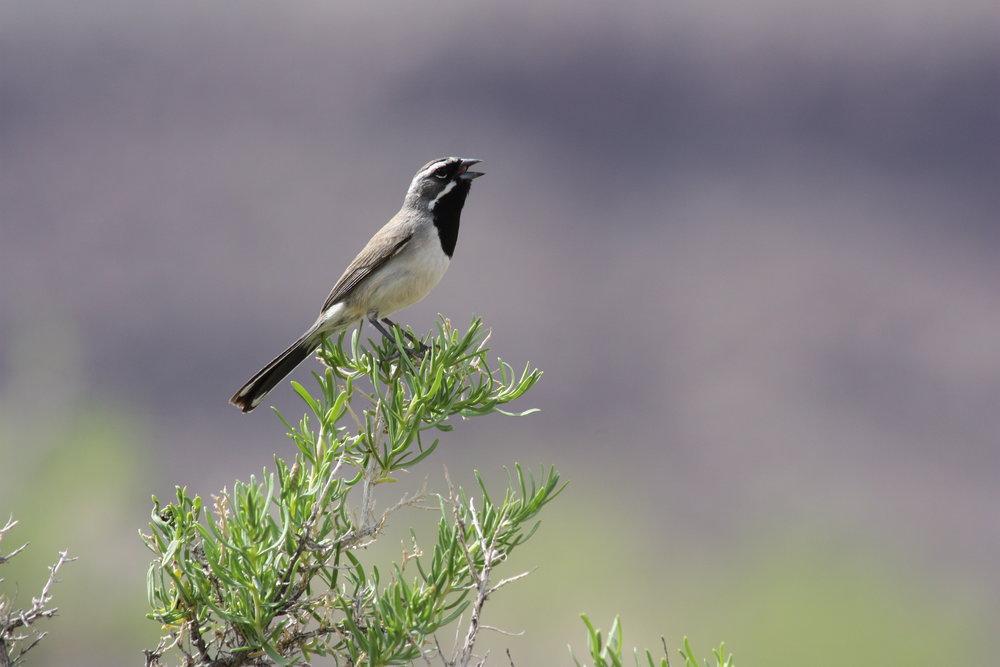 black-throated-sparrow-amphispiza-bilineata_25453782054_o.jpg