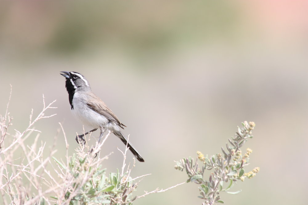 black-throated-sparrow-amphispiza-bilineata_25455979143_o.jpg