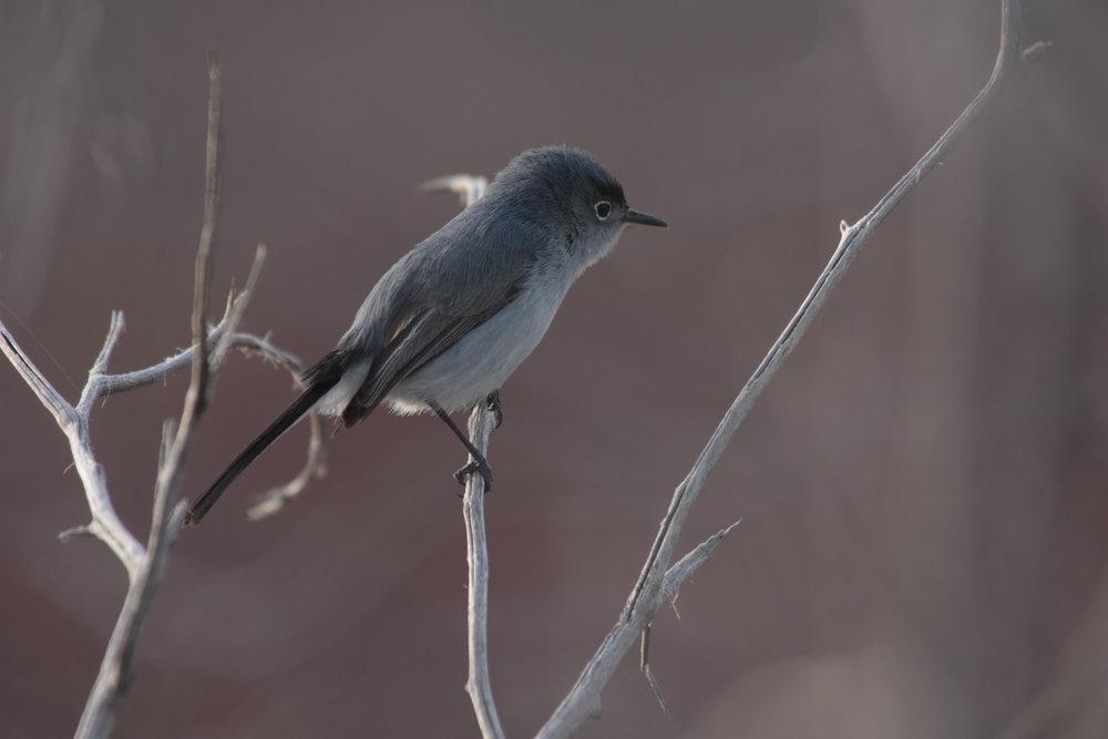 blue-grey-gnatcatcher-polioptila-caerulea_26058865355_o.jpg