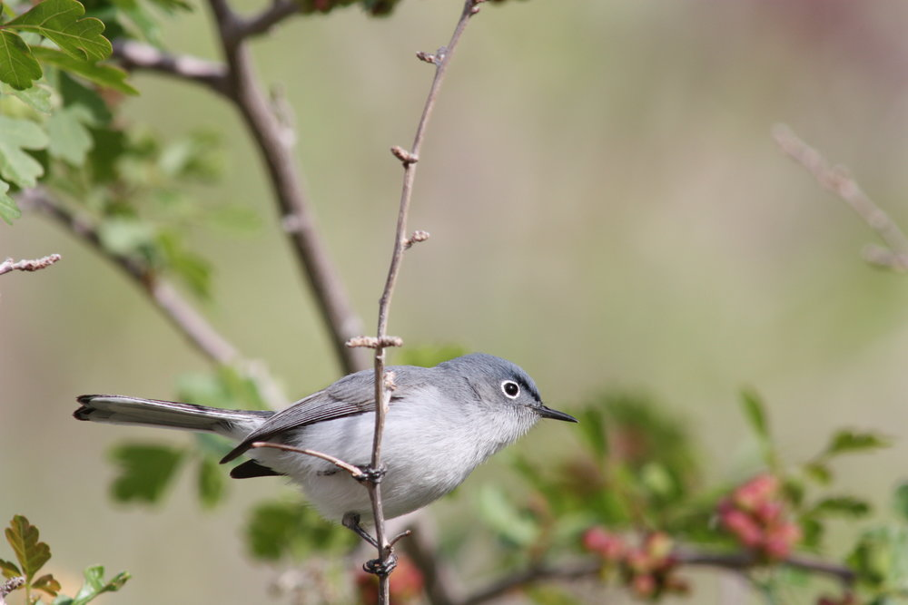 blue-grey-gnatcatcher-polioptila-caerulea_25453810104_o.jpg