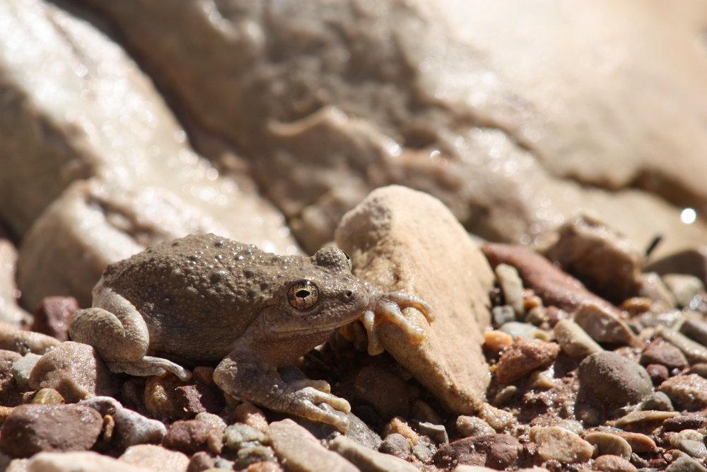 canyon-tree-frog-hyla-arenicolor_25992240881_o.jpg