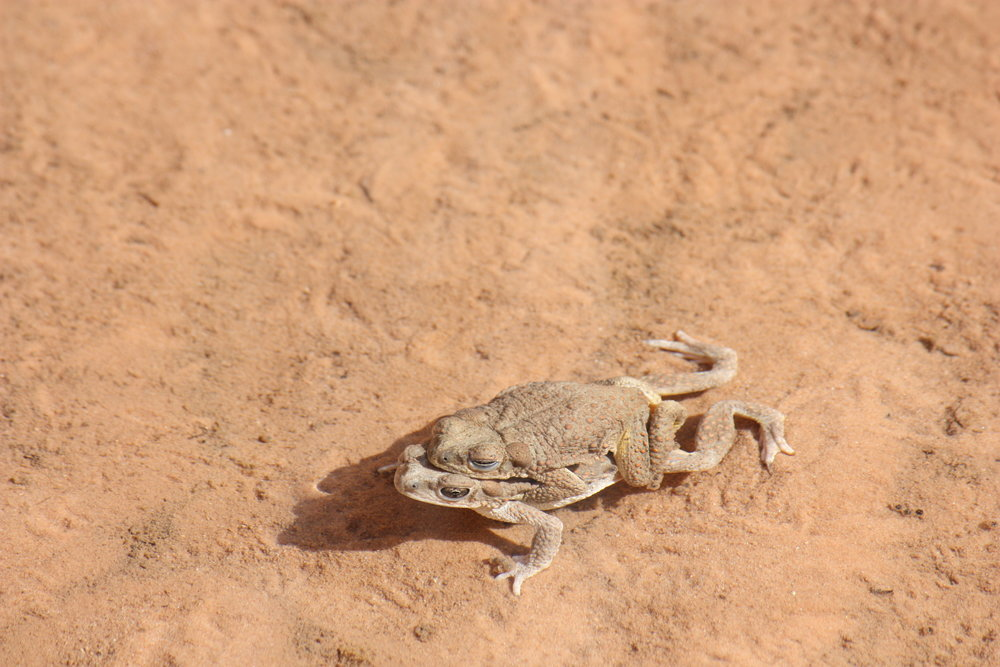 canyon-tree-frogs-hyla-arenicolor_26032692846_o.jpg