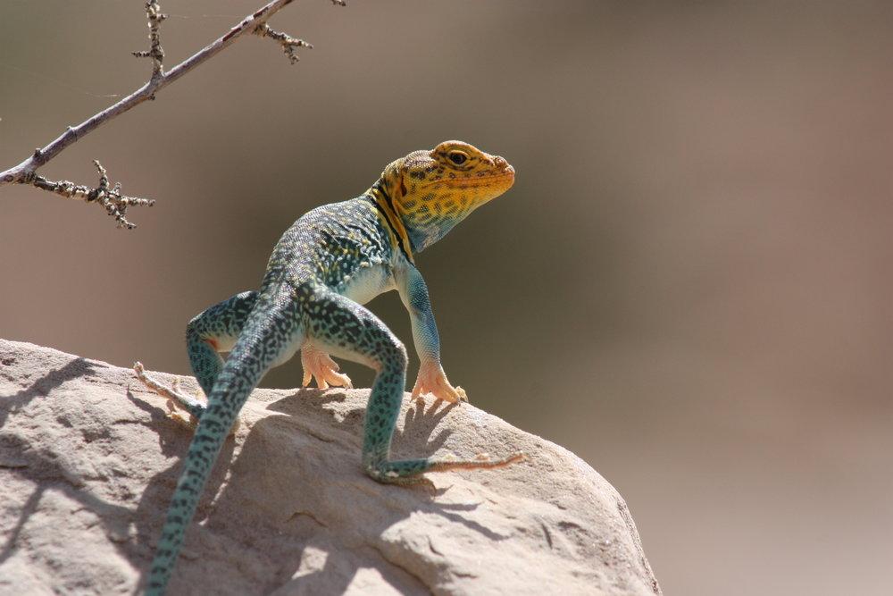 common-collared-lizard-crotaphytus-collaris_25453796134_o.jpg