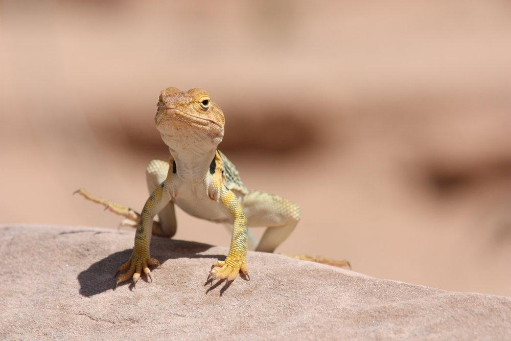 common-collared-lizard-crotaphytus-collaris_25455960863_o.jpg