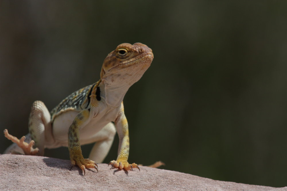 common-collared-lizard-crotaphytus-collaris_26032593676_o.jpg
