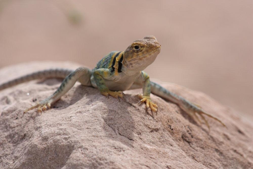 common-collared-lizard-crotaphytus-collaris_26058563415_o.jpg
