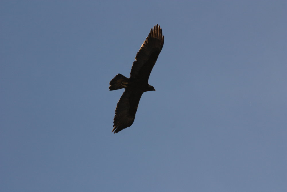 golden-eagle-aquila-chrysaetos_25453904934_o.jpg