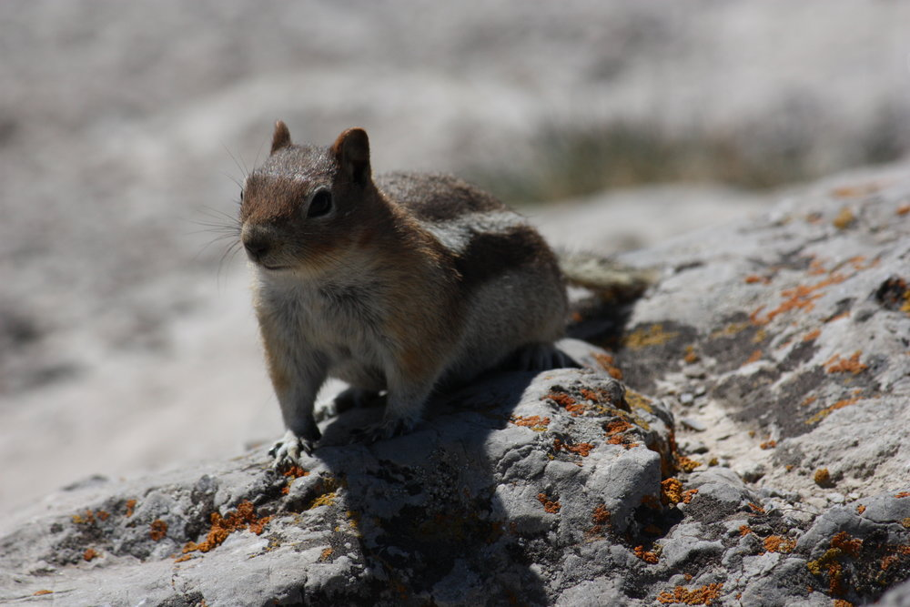 golden-mantled-ground-squirrel-callospermophilus-lateralis_25785926200_o.jpg