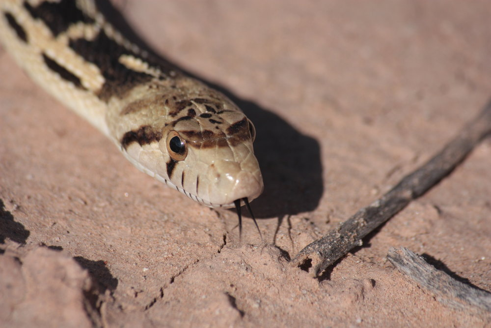 great-basin-gopher-snake-pituophis-catenifer_25454067274_o.jpg