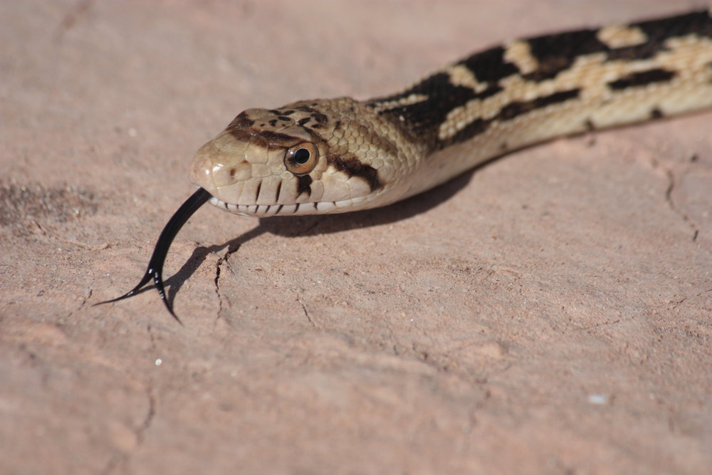 great-basin-gopher-snake-pituophis-catenifer_26058848685_o.jpg