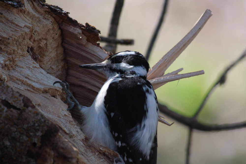 hairy-woodpecker-picoides-villosus_25456368613_o.jpg