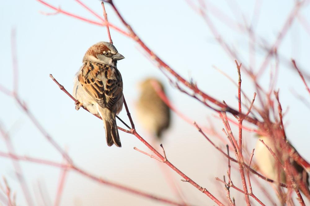 house-sparrow-passer-domesticus_25456099503_o.jpg