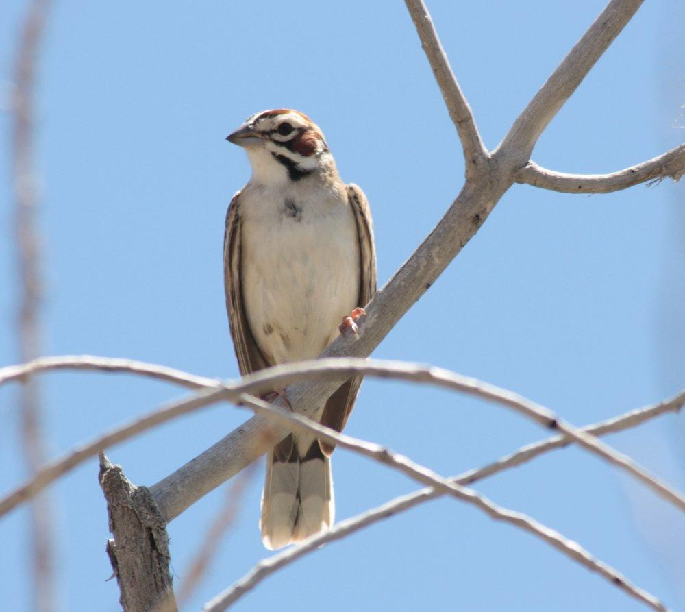 lark-sparrow-chondestes-grammacus_25965971672_o.jpg