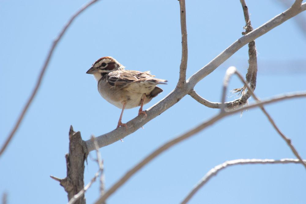 lark-sparrow-chondestes-grammacus_26058888975_o.jpg