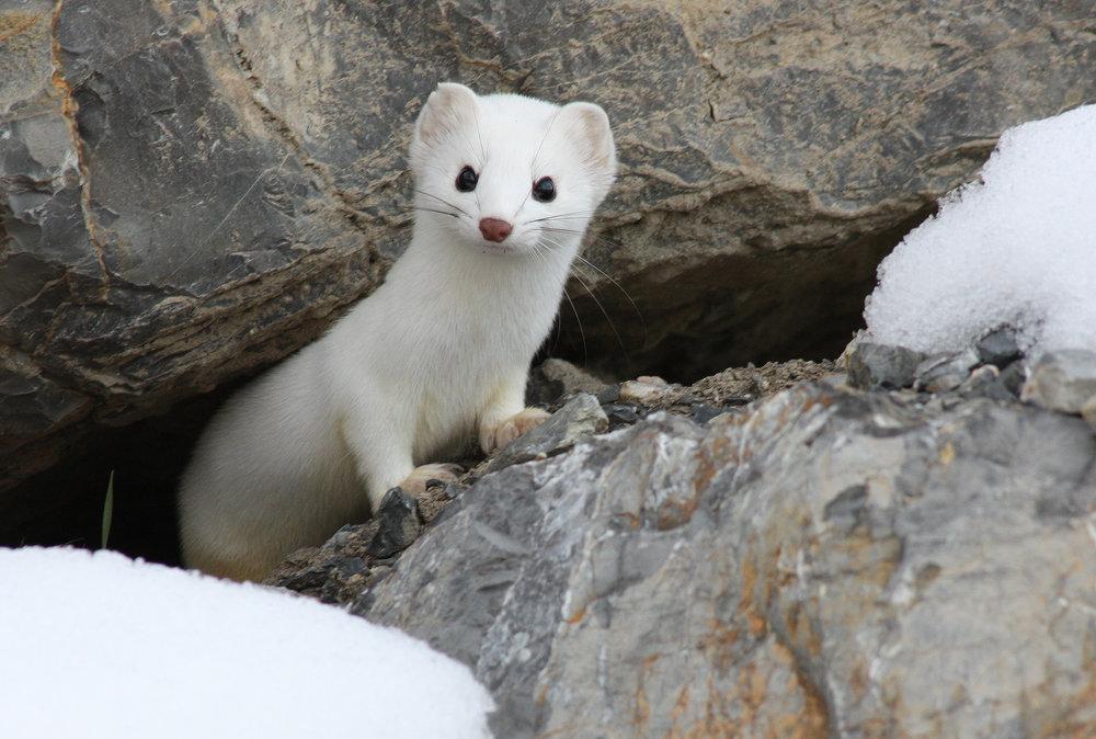 long-tailed-weasel-mustela-frenata_25456103433_o.jpg