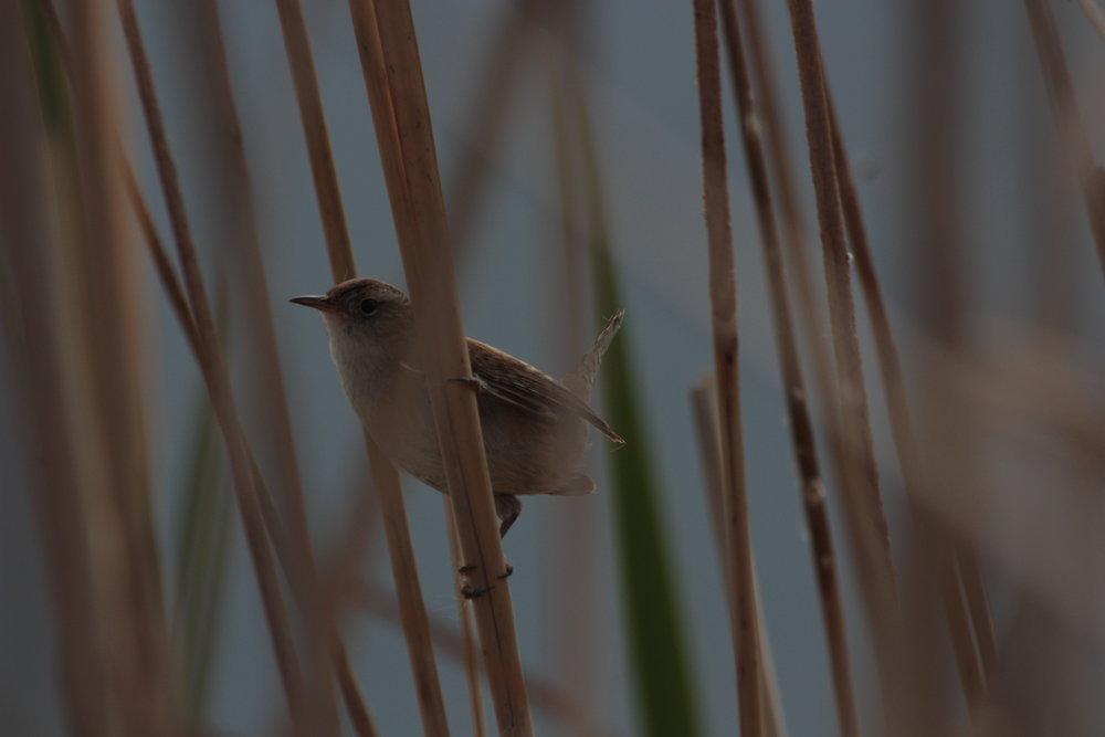 marsh-wren-cistothorus-palustris_25966425512_o.jpg