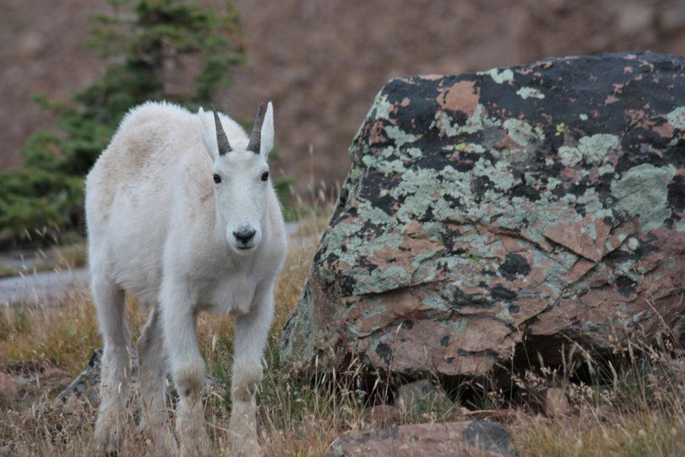 mountain-goat-oreamnos-americanus_25966287792_o.jpg