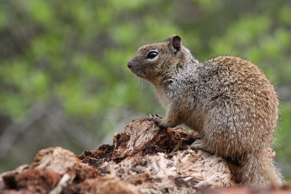 rock-squirrel-otospermophilus-variegatus_25785806950_o.jpg