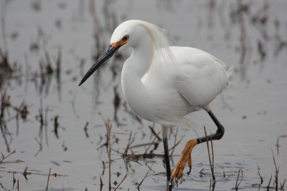 snowy-egret-egretta-thula_25456379193_o.jpg