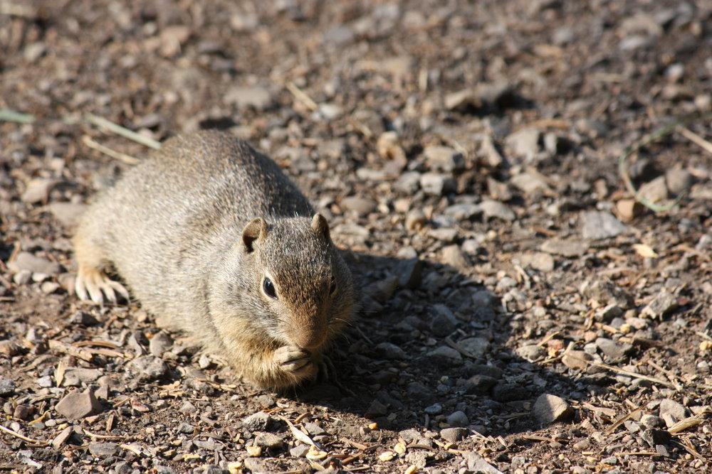 uinta-ground-squirrel-urocitellus-armatus_25453981604_o.jpg