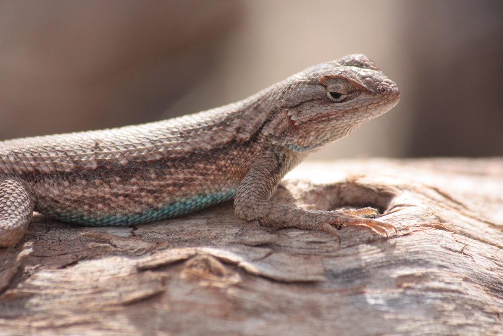 western-fence-lizard-sceloporus-occidentalis_25454079374_o.jpg