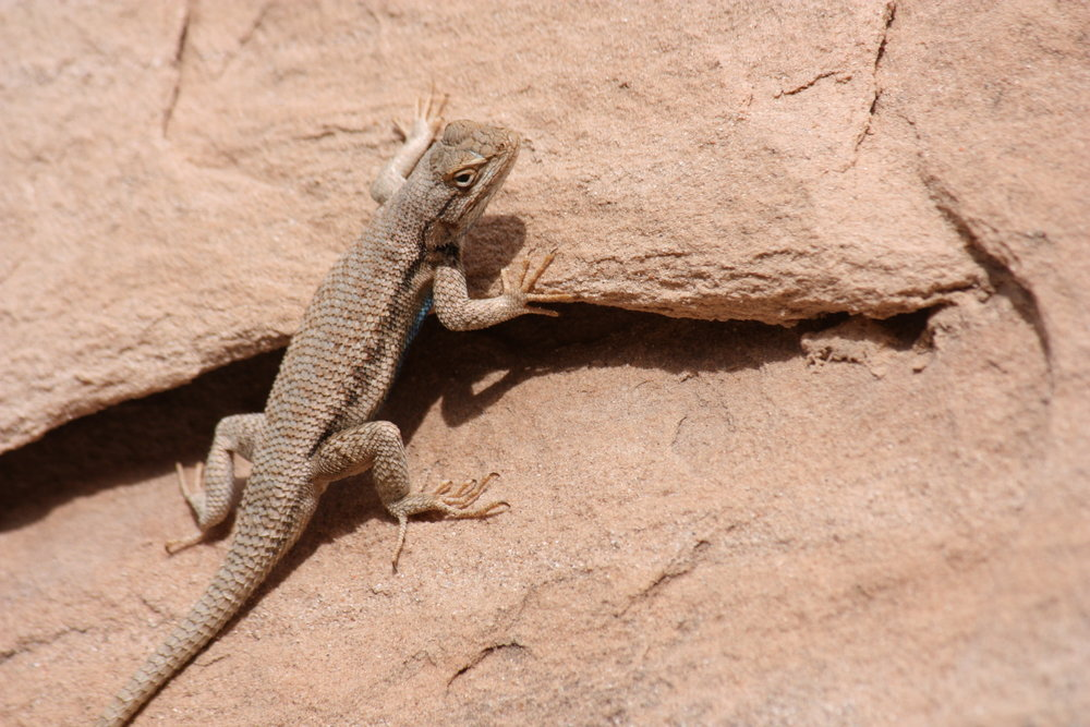 western-fence-lizard-sceloporus-occidentalis_25455946743_o.jpg