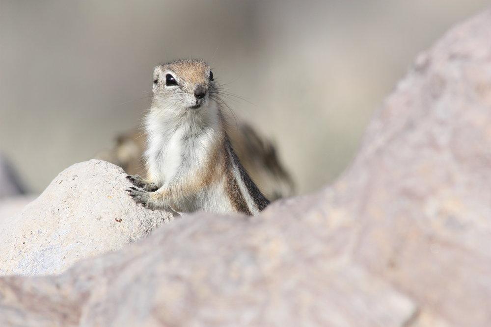 white-tailed-antelope-squirrel-ammospermophilus-leucurus_26032755216_o.jpg