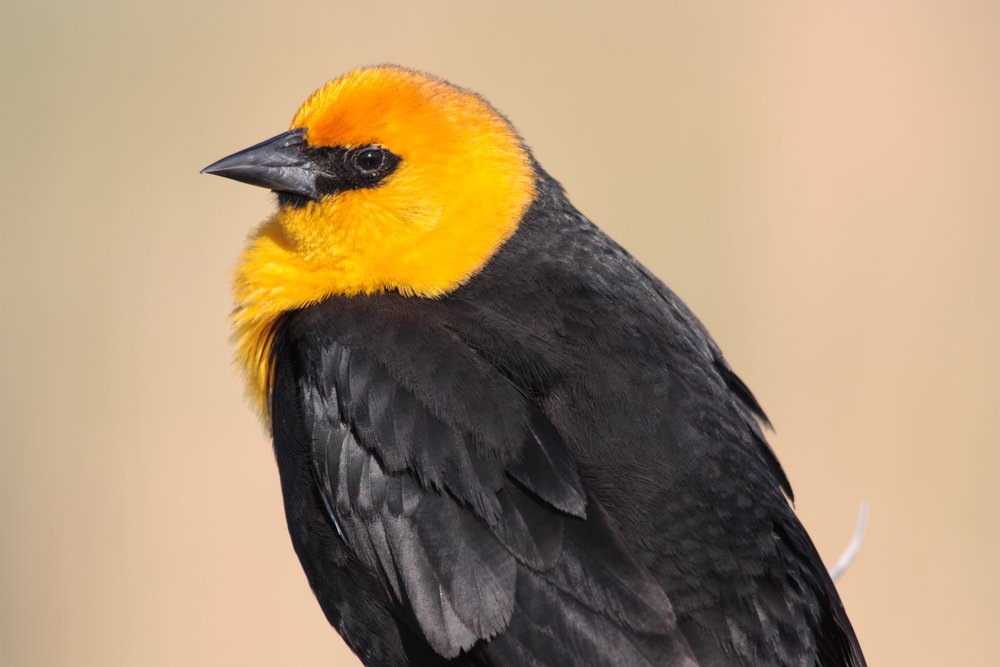 yellow-headed-blackbird-xanthocephalus-xanthocephalus_25966430922_o.jpg