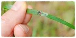 Black legged tick on grass blade.