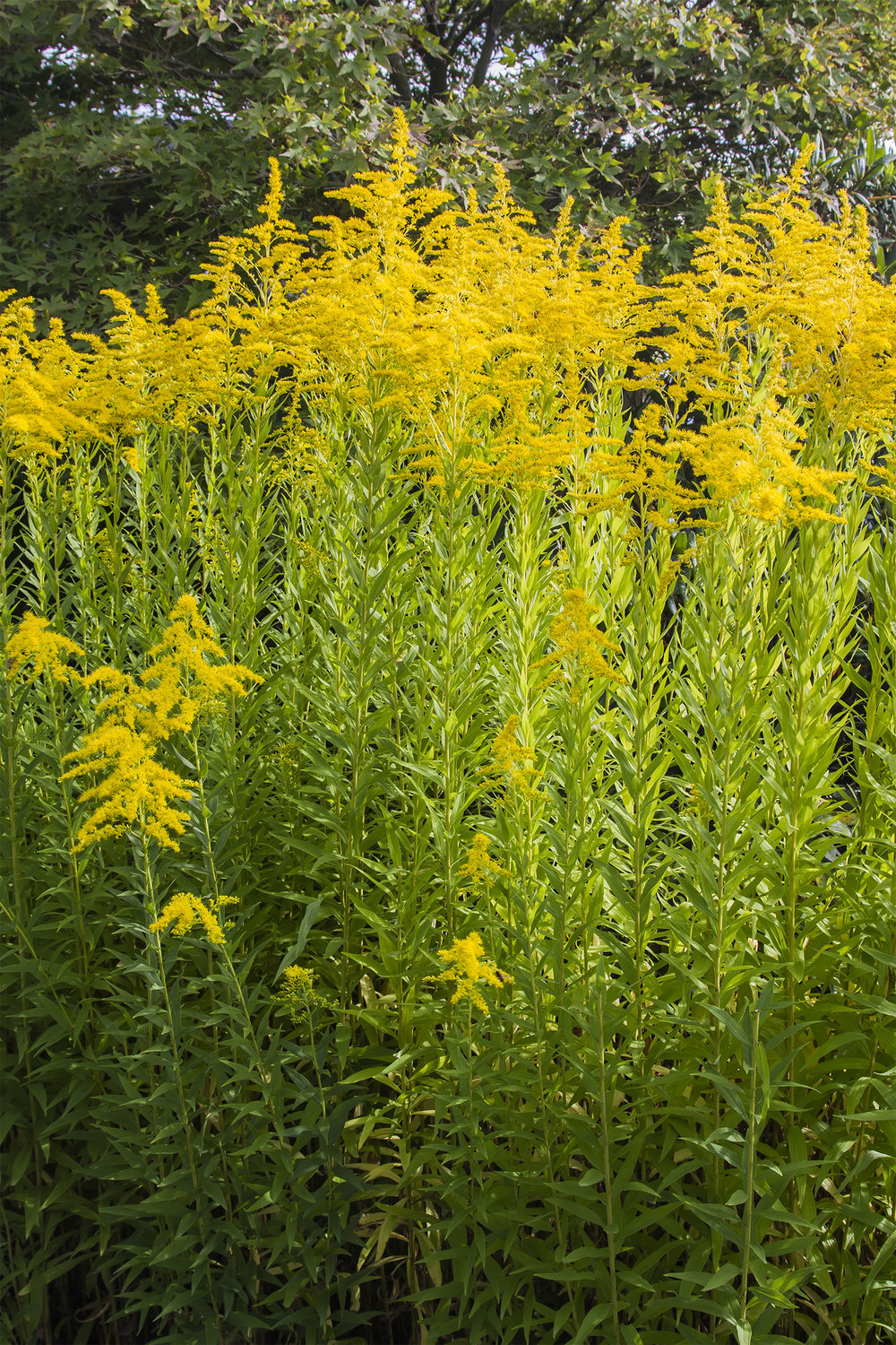 A herbal forest of Goldenrod;  a harmonious haven for insects and bees.