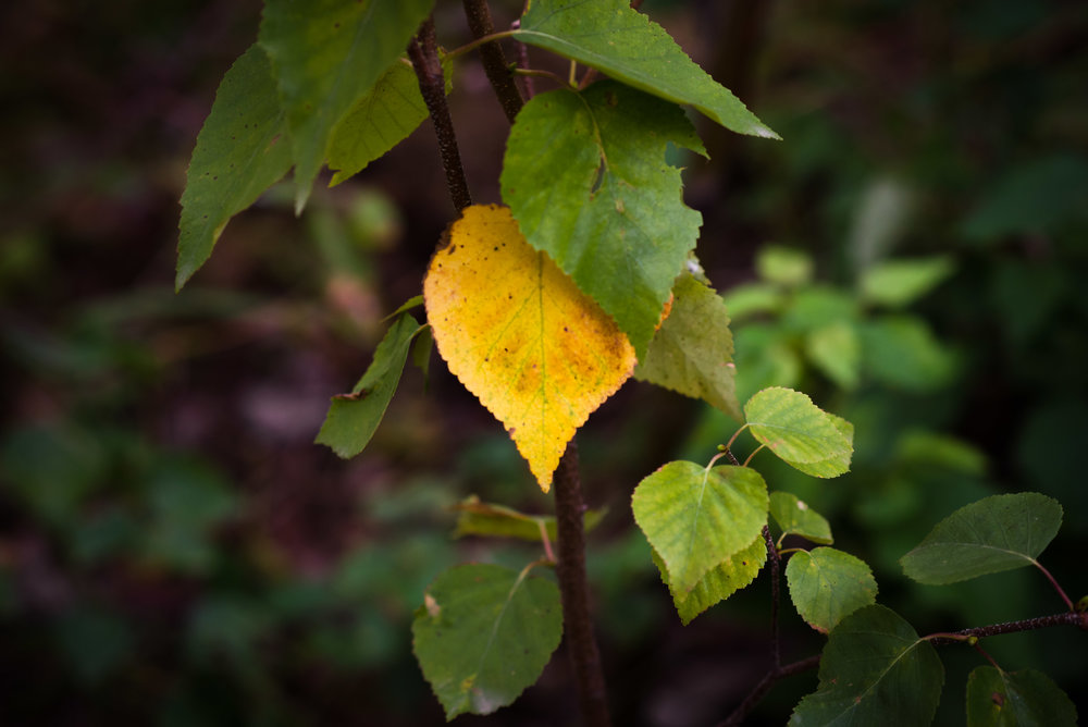 yellow leaf-1.jpg