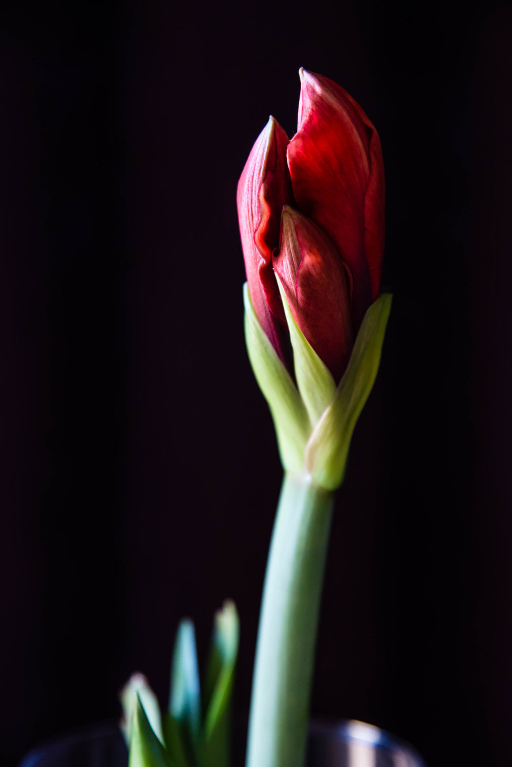Amaryllis Bulb photograph by Stephanie Ray