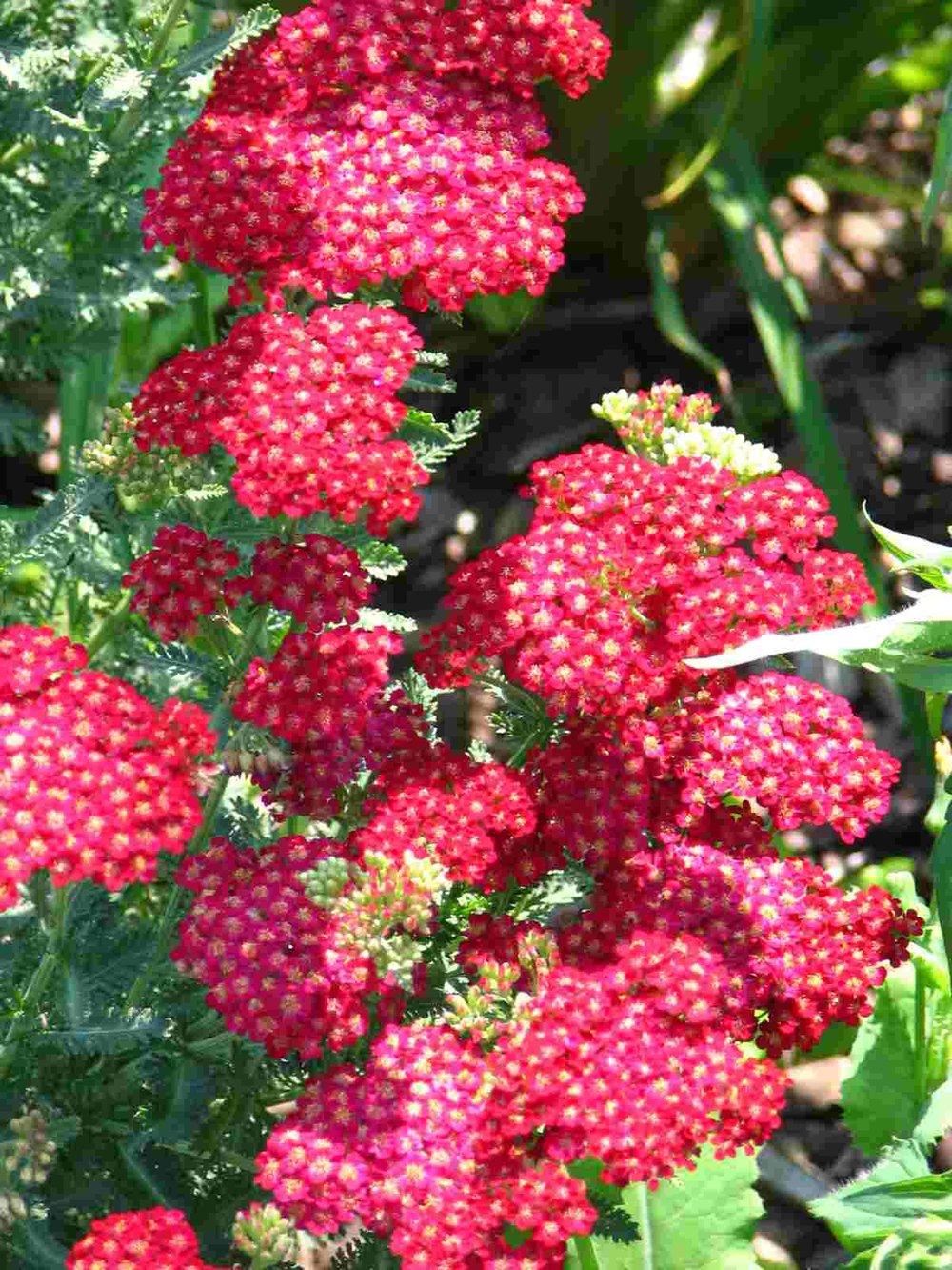red-yarrow-flower.jpg