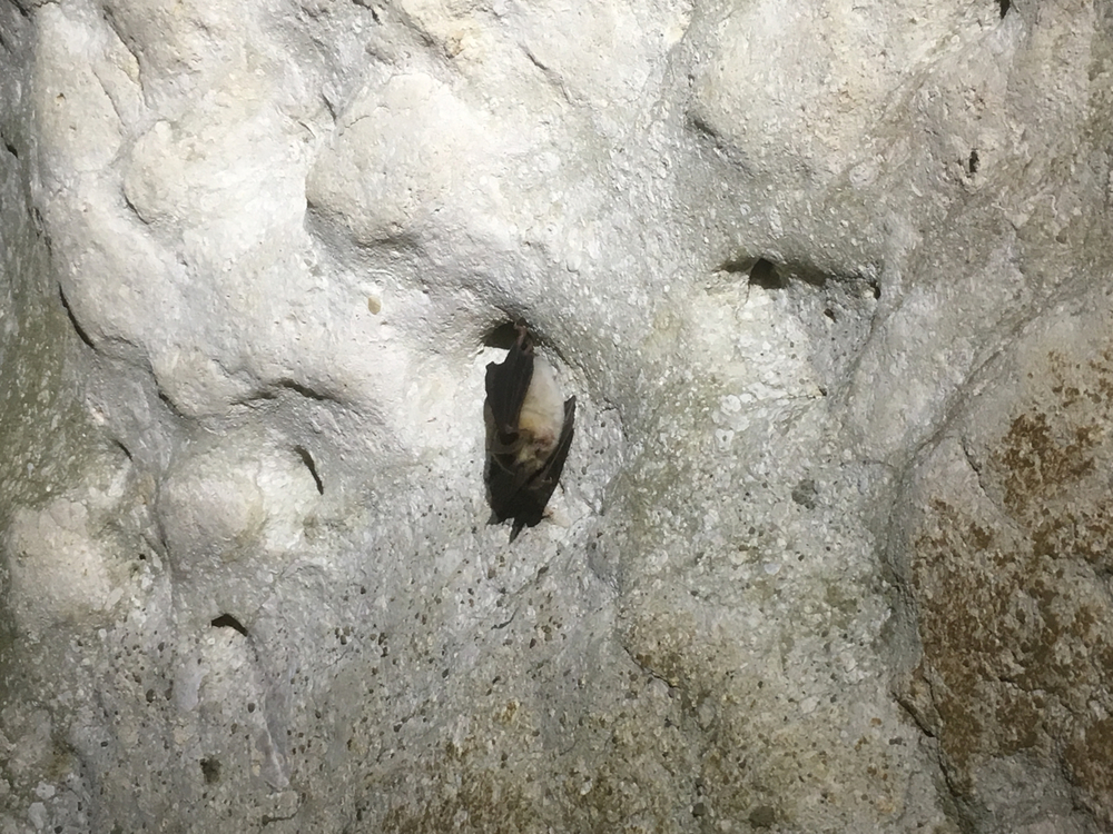 Mehely's Horseshoe Bat