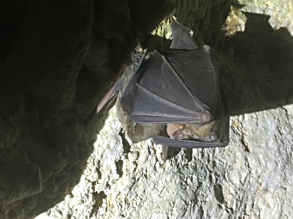 Greater Horseshoe Bat 'shielding' a Schreiber's Bat