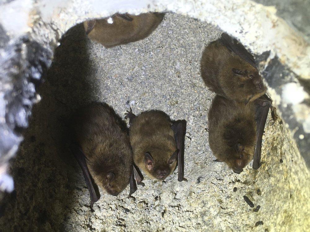 Soprano Pipistrelles