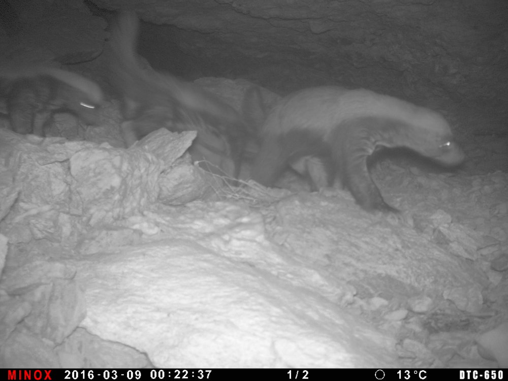 A family of Honey Badgers in Western Sahara - the highlight of our camera trapping year