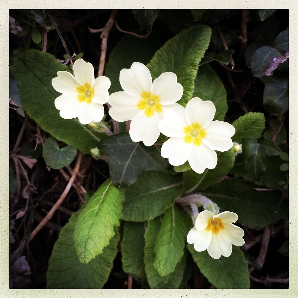 Woody Bay primroses