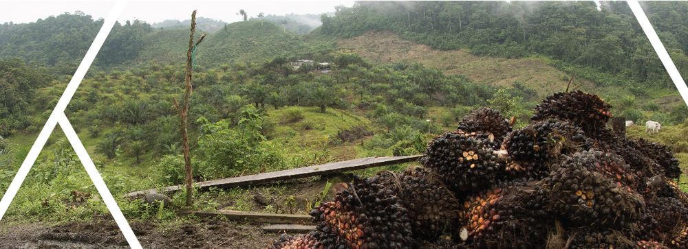 Small scale palm oil plantation encroaching into primary forest.