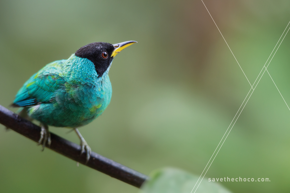 Green Honeycreeper  ( Chlorophanes spiza )